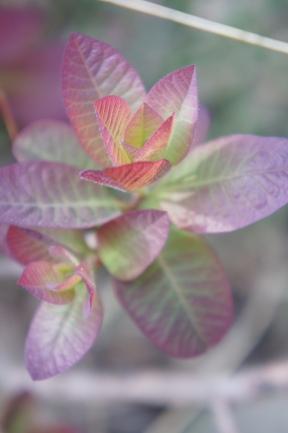 Cotinus coggyrgria